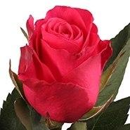 """Роза """"Red desire"""""""