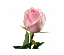 "Роза ""Sweet Dolomiti"""