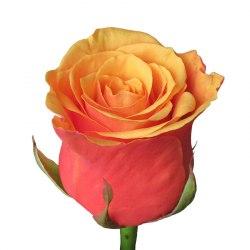 Роза Эспана (Espana)