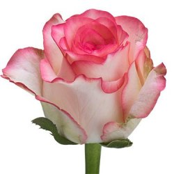 "Роза ""Jumilia"""