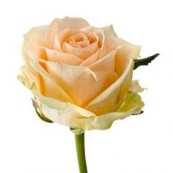 "Роза ""Avalanche Peach"""