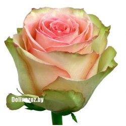 Роза Фрутетто (Frutetto)