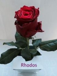 Роза Родос (Rhodos)