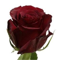 "Роза ""Red Paris"""