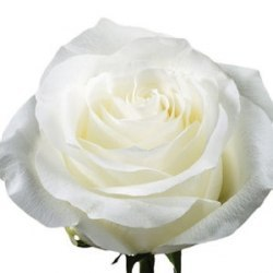 """Роза """"Proud"""""""