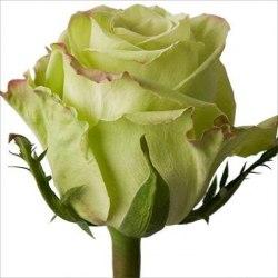 """Роза """"Green Tea"""""""