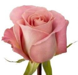 """Роза """"Hermosa"""""""