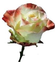 Роза Aubade 25 шт.