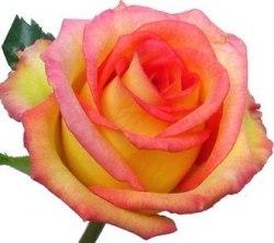 """Роза """"Ambiance"""""""