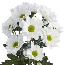 Хризантема кустовая Бакарди белая Bacardi White