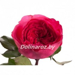 Пионовидная роза Барселона