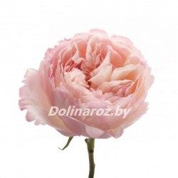 """Пионовидная роза """"Киера"""""""