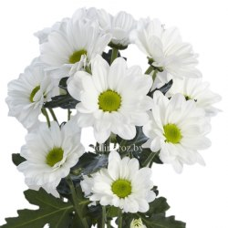 "Хризантема ""Бакарди"" белая 5 шт. (Пачка)"
