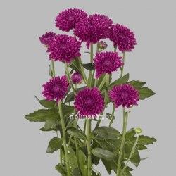 Хризатема кустовая Лолипоп перпл Lolipop Purple