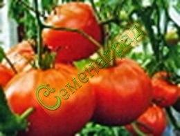 Семена томатов Метелица - ранний, низкорослый, 200 г, урожайный. Семенаград - семена почтой