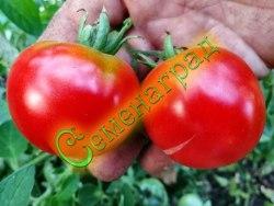 Семена томатов Народная скороспелка - 1 уп.-20 семян - среднерослый, ранний, до 150 г, не пожалеете. Семенаград - семена почтой