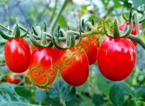 Семена томатов Пальчик, выведен во Франции - среднерослый, ранний, гроздевой, сладкий, очень урожайный. Семенаград - семена почтой