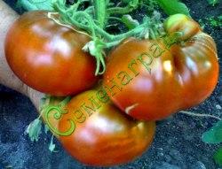 Семена томатов Паслен черный - 1 уп.-20 семян - среднерослый, среднеранний, до 300 г, кроваво-черный. Семенаград - семена почтой