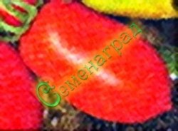 Семена томатов Ракета - 1 уп.-20 семян - до 100 г, ранний, лежкий, хорош в солке, как все овальные, среднерослый, урожайный, никогда не подводит. Семенаград - семена почтой