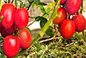 Семена томатов Лось - ранний, до 150 г, низкорослый, розовый, овальный, очень красивый. Семенаград - семена почтой