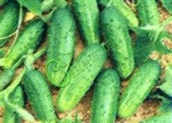 Семена огурцов Апомиксис Коняевых - очень урожайный, самоопыляемый сорт, плоды некрупные, мелкие пупырышки. Семенаград - семена почтой