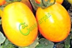Семена томатов Де борао золотой - высокорослый, до 100 г, урожайный, популярный. Семенаград - семена почтой