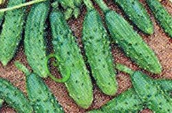 Семена огурцов Изящные - некрупные огурчики во множестве, проверен годами. Семенаград - семена почтой