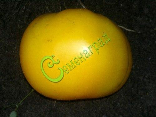 Семена томатов Лемон Бой - высокорослый, до 300 г, желтый, модный, эффектный. Семенаград - семена почтой