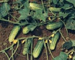 """Семена огурцов """"Литл Лиф""""(""""Маленький лист""""), выведен в США - компактные кусты, маленькие листики и множество огурчиков кистями по 3-4 шт., 5-8 см длиной, устойчив к болезням, растение короткого дня, сорт 21 века. Семенаград - семена почтой"""