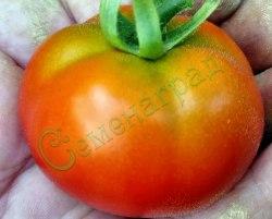 """Семена томатов Биг Бой (""""Большой мальчик"""") - низкорослый да 200 г, урожайный, ранний. Семенаград - семена почтой"""