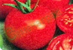 Семена томатов Брекодей - низкорослый, до 150 г, ранний, хорош, классика. Семенаград - семена почтой