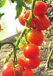 Семена томатов Уникальные - до 120 г, название очень точное, очень ранний, до 1 м, картофельный лист. Семенаград - семена почтой