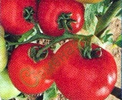 Семена томатов Доходный - низкорослый, ранний, до 100 г, очень урожайный. Семенаград - семена почтой