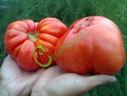 Семена томатов Шапка Мономаха - высокорослый, красный, до 1 кг. Семенаград - семена почтой