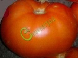 Семена томатов Шахтерская слава - до 250 г, высота 1 м, среднеранний, плотный, высокотоварный. Семенаград - семена почтой
