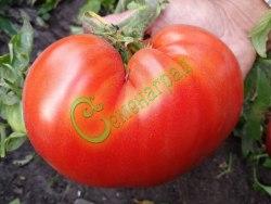 Семена томатов Японский краб - среднерослый, сердцевидный, до 400 г. Семенаград - семена почтой