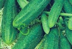Семена огурцов Малахит - очень урожайный, для открытого и закрытого грунта, плоды некрупные, ранний. Семенаград - семена почтой