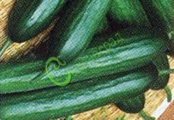 Семена огурцов Миг - 1 уп.-10 семян - популярный, скороспелый, хорош в салате и засолке, плоды длинные и тонкие. Семенаград - семена почтой