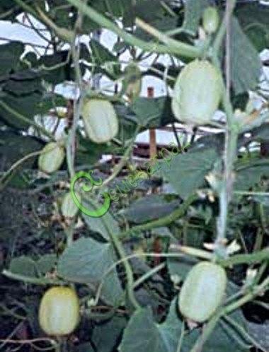 """Семена огурцов Огурец-Лимон """"Хрустальное яблоко"""" - напоминает лимон, эксклюзив. Семенаград - семена почтой"""