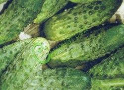 Семена огурцов Феникс-640 - 1 уп.-10 семян - грунтовый, очень устойчивый, салатно-засолочный сорт, плоды средние, пупырчатые. Семенаград - семена почтой
