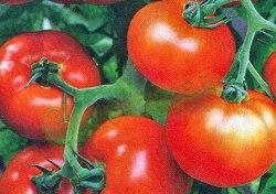 Семена томатов Крайова - 100 см, до120 г, может выращиваться многолетним в комнате, хорош в грунте. Семенаград - семена почтой
