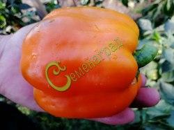 Семена сладкого перца Голландский оранжевый - цилиндрический, крупный. Семенаград - семена почтой