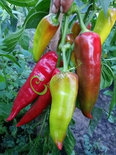 Семена сладкого перца Золотая медаль - 1 уп.-10 семян - конический, красный, крупный, ранний. Семенаград - семена почтой