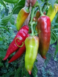 Семена сладкого перца Золотая медаль - конический, красный, крупный, ранний. Семенаград - семена почтой