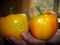Семена сладкого перца Золотая снежность - цилиндрический, оранжевый, крупный. Семенаград - семена почтой