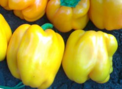 Семена сладкого перца Золотой молот - крупный, цилиндрический, жёлтый, ранний. Семенаград - семена почтой