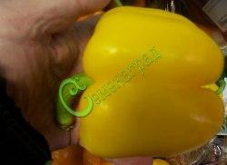 Семена сладкого перца Золотой юбилей - цилиндрический, желтый, крупный. Семенаград - семена почтой
