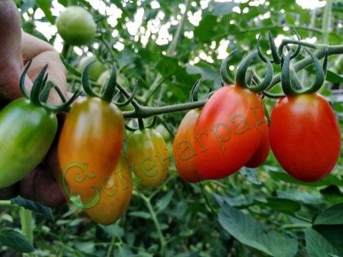 Семена томатов Маленький Лю, выведен в Китае - очень холодостойкий, среднеранний, овальный, высокорослый, 20 г. Семенаград - семена почтой