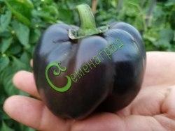 Семена сладкого перца Новосибирский - цилиндрический, фиолетовый, крупный. Семенаград - семена почтой