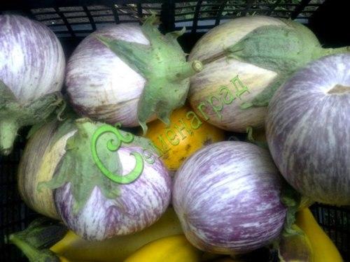 Семена баклажана Матросик с - 1 уп.-10 семян - средних размеров, полосатый, ранний. Семенаград - семена почтой